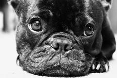 06-14-11 (597) Tired (Lainey1) Tags: bw dog cute face nose eyes sony adorable bulldog tired mug frenchie frenchbulldog 365 filters wrinkles ozzy muzzle 597 zendog exposure3 nex5 sonynex5 061411 597oz ozzythefrenchie