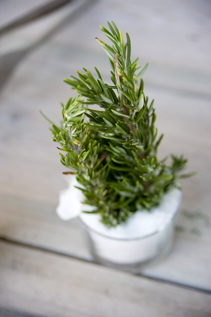 IBIZA WEDDING ROSEMARY PLANT