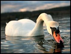 Slurpy (CrzysChick) Tags: ocean sea portrait white reflection bird water birds animal animals canon one swan alone drink wildlife drinking wideangle lagoon swans lonely thirsty esquimalt 30d canon30d iloveyourart photofaceoffwinner likeitornotwinner pfogold