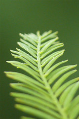 iPhone / iPod touch wallpaper - Bald Cypress Leaf (sklender) Tags: wallpaper iphone ipodtouch iphonewallpaper iphonebackground ipodtouchwallpaper ipodtouchbackground