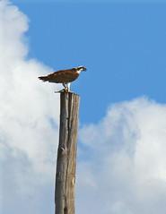 Osprey (Darren German) Tags: austin texas osprey seahawk