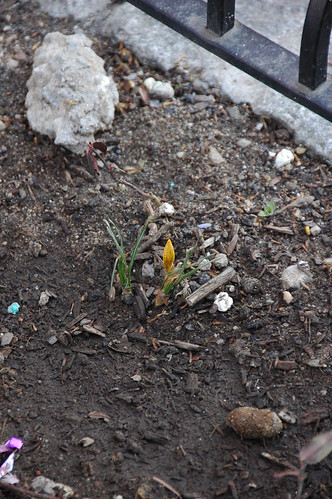 Crocus blooming in a treepit on Cortelyou Road, Brooklyn