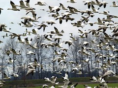 Flock Of Snow Geese (moonm) Tags: birds geese snowgeese gaggle