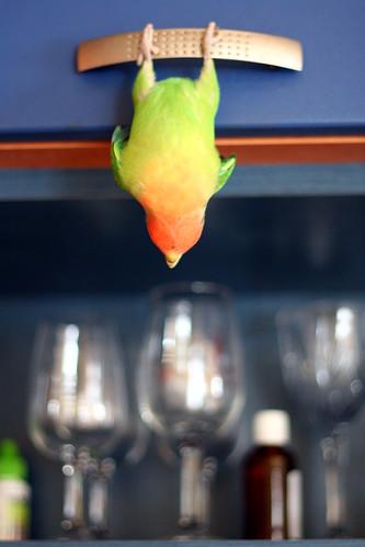 Dried lovebird (IMG_7819.JPG)