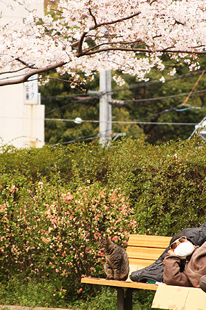 a cat and a man under the cherry blossom