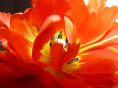 Red art (spayn) Tags: flowers macro tulip rood bloemen tulp