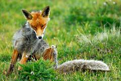 Fox (Fabio Nocera) Tags: italy parco nature nikon natura piemonte d200 nikkor montagna ceresole paradiso parchi nazionale escursionismo parconazionaledelgranparadiso nocifix fabionocera