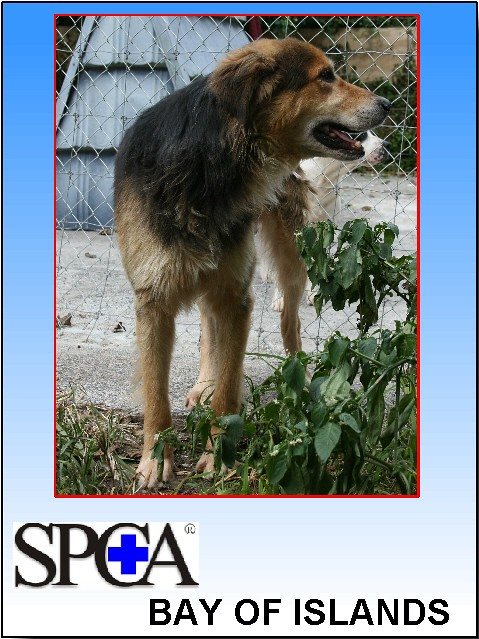 KENNEL ID 6408 Hunterway cross male rescued from the pound (pic 6 ) by SPCA Support and Protecting the rights of Animals