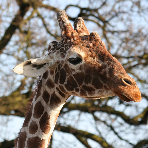 Your 'avin a Giraffe....For my friend and fellow Hammer..Lucy..:O)))