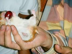20080530-12 (kayako_) Tags: hamster pon