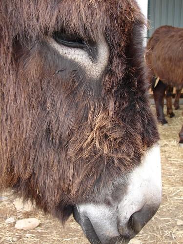 burro mirandês