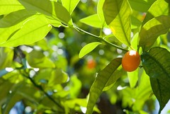 kumquat on the tree