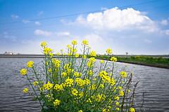 fiori su risaia (Paolo Tubia) Tags: flowers sky italy cloud nature weather yellow clouds italia nuvole natura campagna ciel giallo fiori nuage nuages fiore paesaggi mto monferrato frower mtorologie