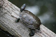 Tortoise on a Diveboard (DP|Photography) Tags: fauna zoo tortoise bronxzoo reptiles debashispradhan dpphotography dp|photography