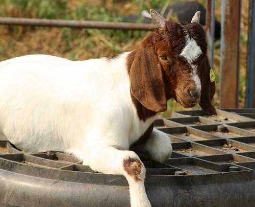 A Boer buck