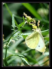 Hanged Butterfly (amirhosseinakbari) Tags: green nature yellow butterfly hanging سبز گل زرد طبیعت پروانه شاخه برگ آویزان