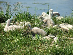 Can you see us (janeg4otu) Tags: water swans marsh cygnets