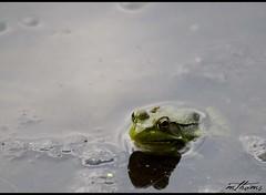 Good evening! (Kadacat (Marlene)) Tags: green pond eyes amphibian frog marsh naturesfinest jackpinetrail canon30d kadacat
