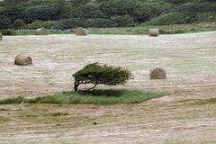 Tree in windswept field