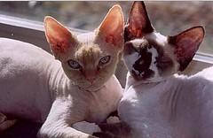 """"""" DEVON REX """" (ugolino) Tags: gatto devonrex barni ornella mici preferito"""