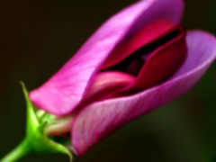 Sweet pea in hiding (Explore) (view-for-you) Tags: pink flower colour macro leaves digital landscape photography for petals view purple you victoria lancashire layers lacey stalk awesomeblossoms