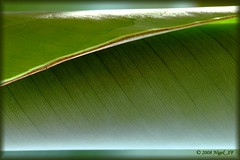 ...leaf of a banana plant in my wintergarden (nigel_xf) Tags: green texture leaf nikon d70s banana nikond70s structure wintergarden grn blatt nigel wintergarten oberflchen bananenstaude goldenglobe aplusphoto nigelxf