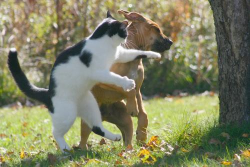 Cat punches dog
