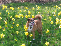 Bailey in the Daffodils (petchamp2008) Tags: dog pet pets look animal animals cat scotland looking champion adorable competition daily best cash funniest record prize unusual 2008 alike champ lookalike cutiest dailyrecord scotlands bestlooking petchamp2008 petchampcouk