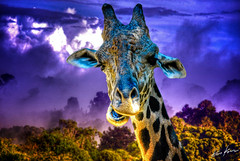 my first giraffe (Kris Kros) Tags: photoshop neck photography high nikon long dynamic kris giraffe d200 2008 range hdr kkg cs3 photomatix kros kriskros 1xp kk2k kkgallery