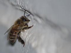 Bee (A.al-Muzaini) Tags: macro bug am nikon bee abdullah d60 almuzaini