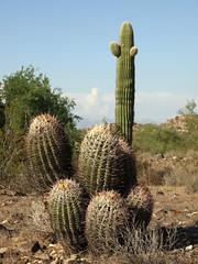 (DarinAZ) Tags: wild arizona cactus cactaceae spines habitat sonorandesert barrelcactus southmountain ferocactus southmountainpark hugyourcacti