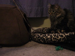 Danya attacking the feather, a short string of images (jon_a_ross) Tags: tabby feather danya attacking browntabbycat