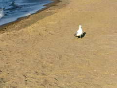 Don't Mind Me... (gonisj) Tags: seagulls lake beach water swimming sand rocks erie rockybeaches
