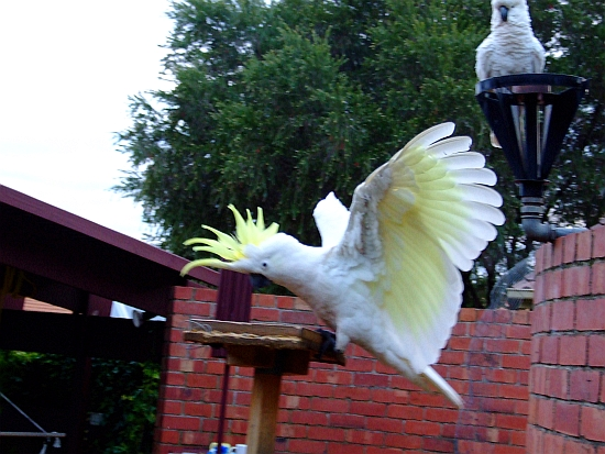 blurry cockatoo landing