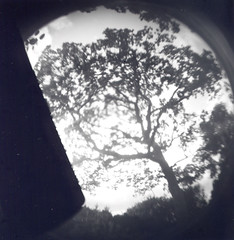 Garry Oak (danedler) Tags: bw holga oak garry