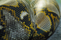 Snakeskin not for handbags (itchybana) Tags: