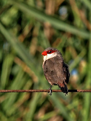 Bico-de-lacre-comum/ Common Waxbill   (Estrilda astrild) (Rosa Gamboias/ on vacation) Tags: portugal nature birds pssaro aves uccelli ave pssaros oiseaux vidaselvagem commonwaxbill estrildaastrild bicosdelacre bicodelacrecomum