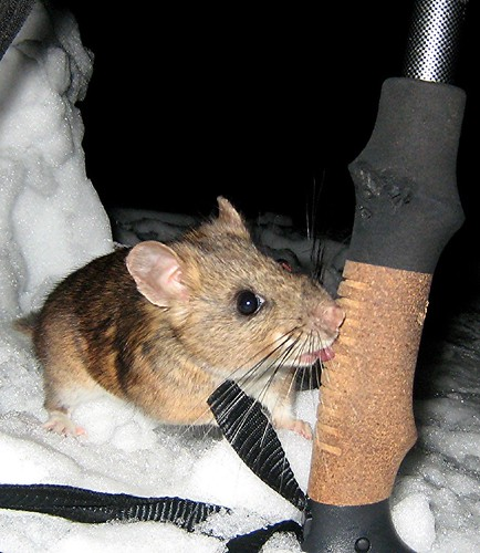 The taste: a bushy tailed wood rat (Neotoma cinerea) samples one of my brand