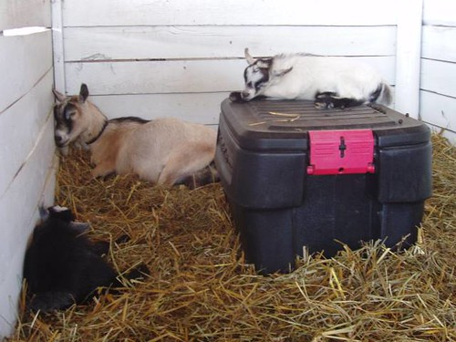 sleepy goat family