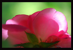 Petal Power (~ Stormin' Arizona ~) Tags: pink flower macro nature rose petals searchthebest mygarden lightpainter excellence bej oldenglishrose platinumphoto citrit macroflowerlovers awesomeblossoms