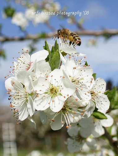 bee on greengage blooms