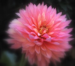 Dreamy Dahlia (Kurlylox1) Tags: pink dahlia flower yellow petals focus dof fluffy multicolored anawesomeshot awesomeblossoms