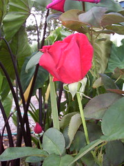Red Roses (fwithclass44) Tags: red roses orange flower nature rose yellow gardening single