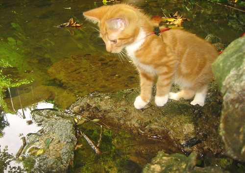 20080914 - cats visit our creek - 167-6793 - Lemonjello - looking at fish in creek - please click through to leave a comment on FlickR