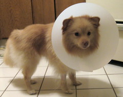 looking pathetic (kelaltieri) Tags: bear dog puppy sad surgery veterinarian pomeranian neuter