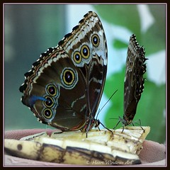 Two of a Kind (Heart Windows Art) Tags: macro butterfly michigan butterflies banana mackinacisland morphopeleides macrolife thesuperbmasterpiece inspiks|inspirationalpictures thecelebrationoflife wingsofmackinacbutterflyhouse