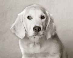 Chelsea (Piotr Organa) Tags: portrait bw dog pet white toronto canada black cute face animal puppy golden retriever blueribbonwinner flickrsbest platinumphoto anawesomeshot impressedbeauty aplusphoto flickrlovers petsaroundtheworld