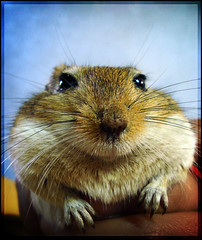Ratatouille chilien XD (Errlucho) Tags: cute lindo mascota ratn peludo tierno roedor ar1 errlucho