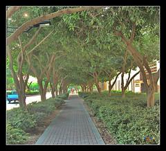 Ficus benjamina (caduser2003) Tags: india english kerala arabic ficus saudi arabia riyadh hindi malayalam malayali ksa religiosa riyad caduser2003 arayalpeepal peeparsacredfig