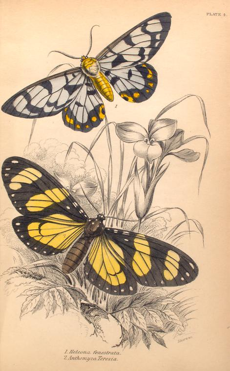 1. Heleona fenestrata; 2. Anthomyza Teresia.  (1843)
